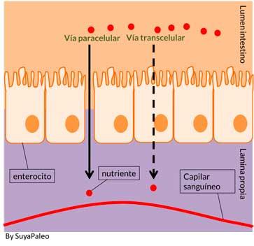 Vias paracelular y transcelular