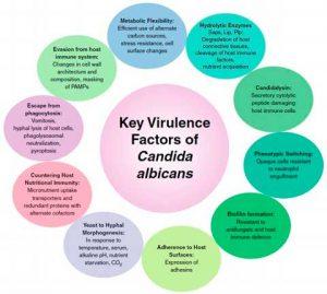 Factores virulentos candida albicans